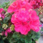 Blütenpracht 3 ©by hoschkat
